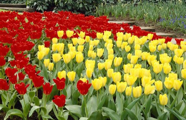 Тюльпаны. Посадка и уход.